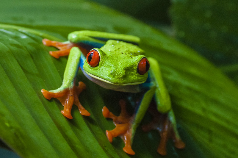 Red eyed tree frog lives in the amazon rainforest and is considered an indicator species. If a habitat is healthy it will often have frogs, but if the habitat is ailing, then the frogs may disappear.