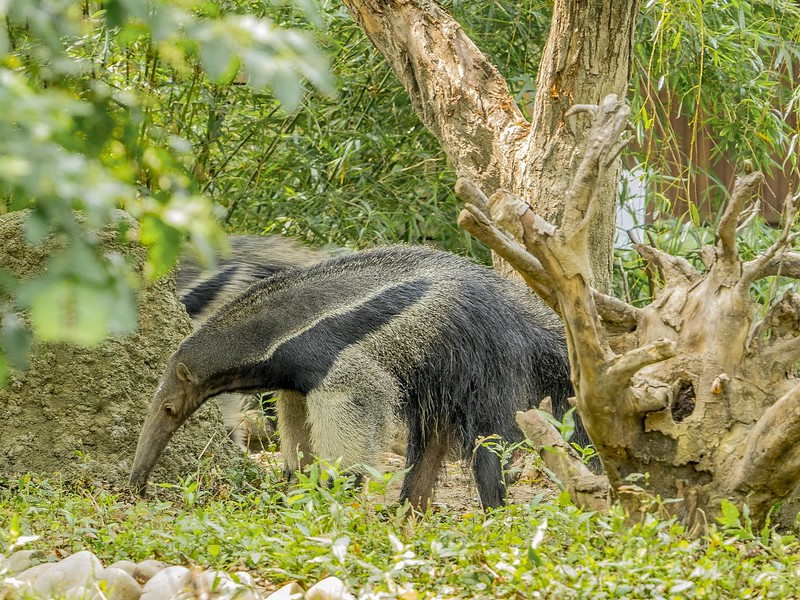Anteaters amazon rainforest - the giant anteater